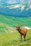 Elk on the Mountain Meadow Stock Image