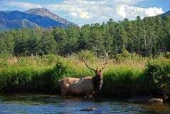 Elk in a Mountain Stream Stock Photo