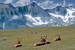 Elk among Mountains Stock Photography