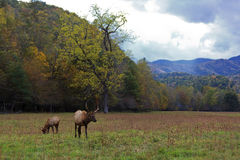 Elk in the Mountains Stock Image