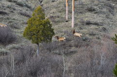 Elk on the Mountainside Stock Images