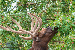 Elk Munching on Crab Apples. Wild Elk in the Rocky Mountains of Colorado stock photo