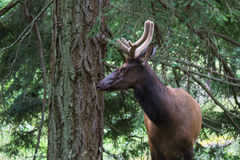 Elk in Natural Environment. Male elk in forest in his natural habitat Stock Images