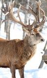 Elk in nature. Big elk in nature during winter Stock Photography