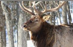 elk in nature Royalty Free Stock Image