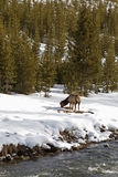 Elk near River, Winter, Yellowstone NP Stock Image