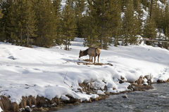 Elk near River, Winter, Yellowstone NP Stock Photography