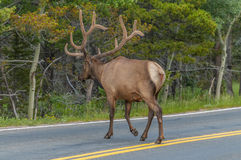 Elk near the road Royalty Free Stock Photography