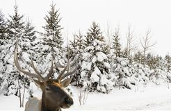 Elk out of the forest on a snowy day Stock Photos