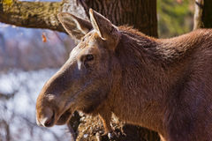 Elk in park Royalty Free Stock Photography
