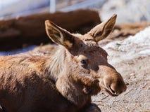 Elk in park Stock Images