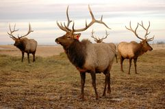 Elk in Pasture. Elk approach the camera on a dismal day Royalty Free Stock Photo
