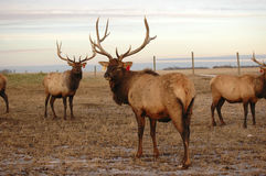 Elk in Pasture. Farm elk being casual in pasture. Note that ears have tags Royalty Free Stock Images