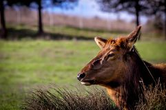 Elk in pasture. An elk laying in a field amongst some straw grass royalty free stock photo