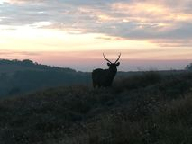 elk at plateau stock photography