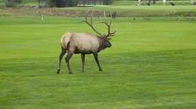 Elk playing through Royalty Free Stock Photography
