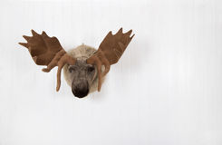 Elk of plush hanging on a white wooden wall for decoration. Fabric head of a deer hanging on a white wall Royalty Free Stock Images