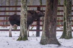 Elk in Poland stock image