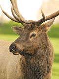 Elk Portrait. Close up of Bull Elk by the valley royalty free stock images