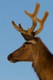 Elk Portrait Royalty Free Stock Photography