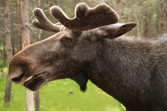 Elk portrait in sweden Stock Photos