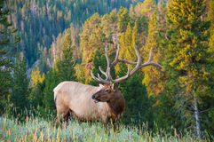 Elk. An elk poses on the side of a hill Stock Photography
