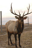 Elk Posing near fence. A farm elk poses for the camera. Note that ears have tags Stock Photos