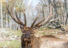 Elk Posing for Posterity- Look At Him! Royalty Free Stock Image