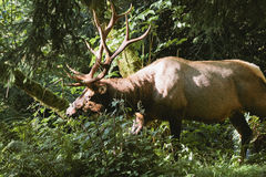 Elk in prairie creek redwoods state park Stock Images