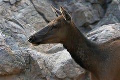 Elk Profile Royalty Free Stock Photos