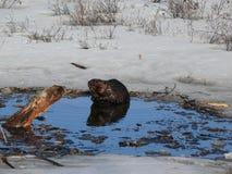 Elk in Quebec. Canada, north America. Elk in Quebec. Canada north America royalty free stock photos
