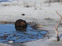 Elk in Quebec. Canada, north America. Elk in Quebec. Canada north America stock image