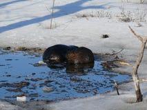 Elk in Quebec. Canada, north America. Elk in Quebec. Canada north America stock images