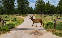 Elk with rack walking across road by cattle guard and evergreen trees near Grand Canyon Arizona royalty free stock image