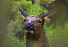 Elk on a rainy day Royalty Free Stock Photography