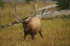 Elk in Ready Position Royalty Free Stock Photography