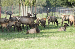 Free Elk, Red Tailed Deer Or Wapiti Stock Image - 92492461