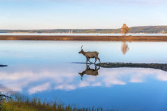 Elk Reflected in Lake Royalty Free Stock Photo