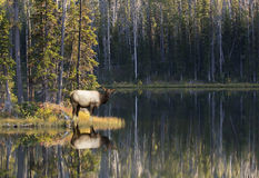 Elk with reflection Royalty Free Stock Photography