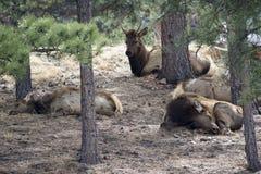 Elk at rest / Sleep Stock Photo