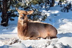 Elk resting Royalty Free Stock Photo