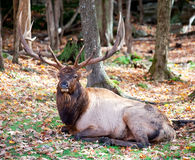 Elk Resting on a Fall Day Stock Images