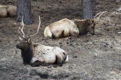 Elk resting in grove of trees Stock Photo