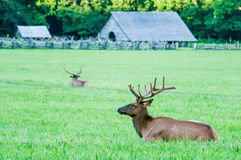 Elk resting on a meadow in great smoky mountains Stock Images
