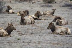 Elk resting. Rocky Mountian Arsenal Royalty Free Stock Photos