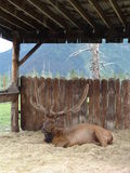 Elk resting in stall. Male elk with antlers resting in wooden shelter or stall; forest in background stock images