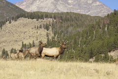 Elk on Ridge Royalty Free Stock Photography