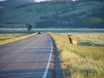 Elk and Road Stock Photos