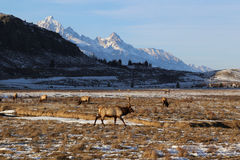 Elk roaming beneath the Tetons Royalty Free Stock Photography