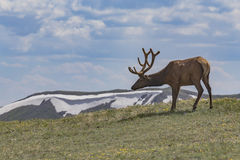 Elk in the Rockies Royalty Free Stock Images